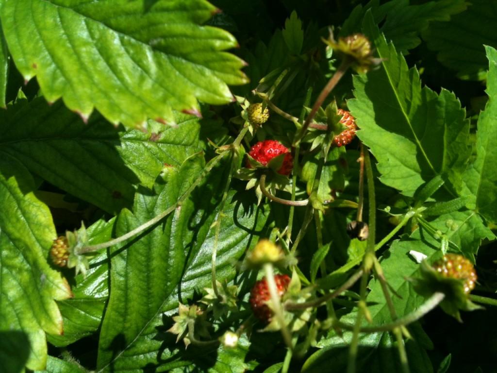 Markjordbær fra Petersborg